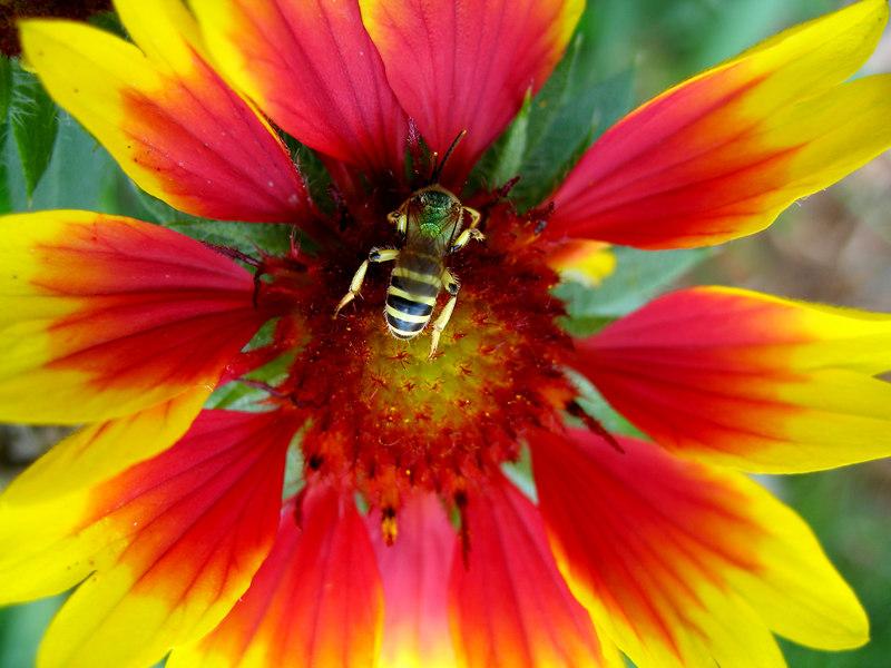 Beeflower copy.jpg