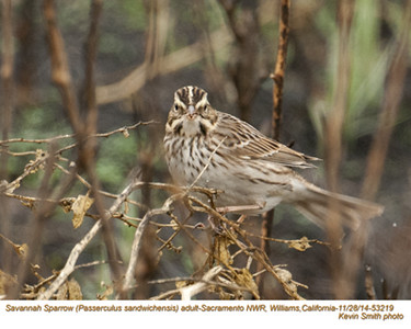 Savannah Sparrow A53219.jpg