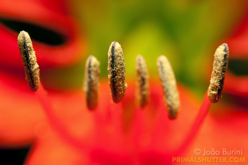 Anthers on the flower of an Hippeastrum lilly, in Intervales State Park, Brazil. South-east atlantic forest reserve, UNESCO World Heritage Site.