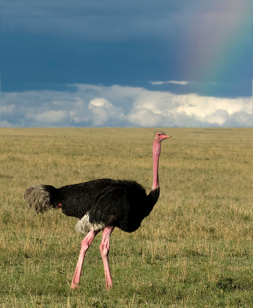 Ostrich....female on the hunt
