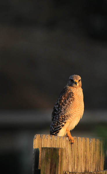 Hawks, Herons, Ospreys