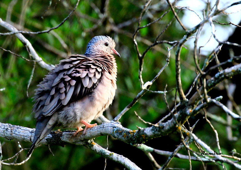 Mourning Dove 6-28-15 055.jpg