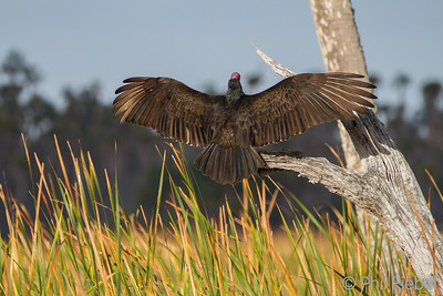 Turkey Vulture sunning its wings