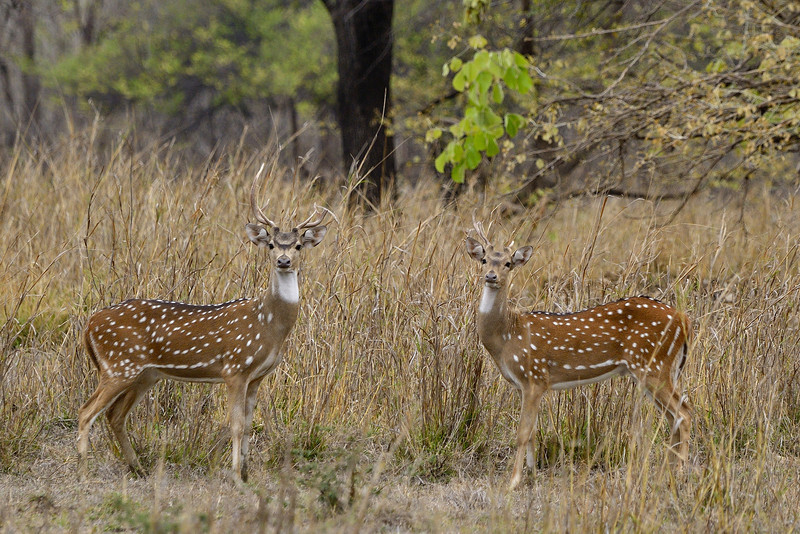 Spotted-deer-twosome.jpg