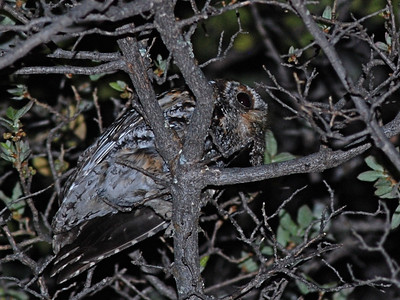 Flammulated Owl (Megascops flammeolus)
