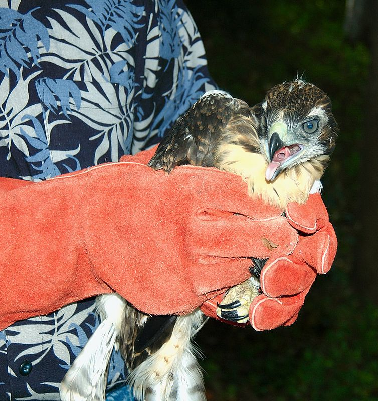 May 27, 2005:  Neighbor Dave gently retrieves the adolescent red-tailed hawk from the ground after it tries to fledge but is still about one to two weeks away from being able to fly on its own.  We placed it on a high branch in the tree where it was able to jump back up to the nest and successfully fledged a few weeks later.