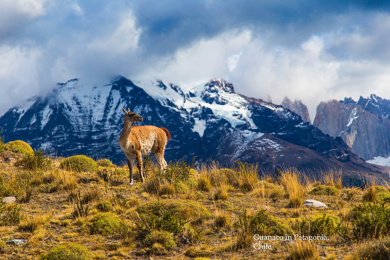 Guanaco in Patagoniajpg024.jpg