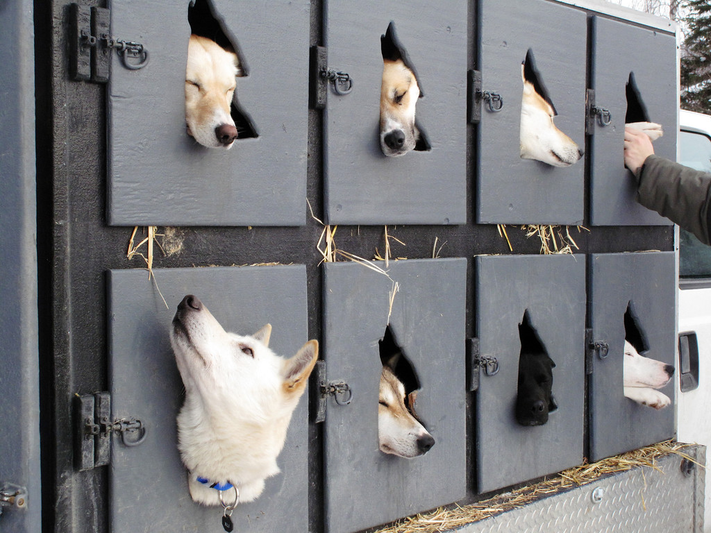 . Dogs wait to run in the Iditarod Trail Sled Dog Race, Sunday, March 3, 2013, in Willow, Alaska. 65 teams will be making their way through punishing wilderness toward the finish line in Nome on Alaska\'s western coast 1,000 miles away. (AP Photo/Rachel D\'Oro)