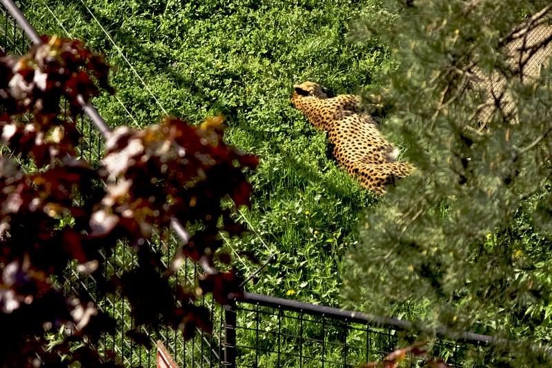 Gepard z rozhledny ;)