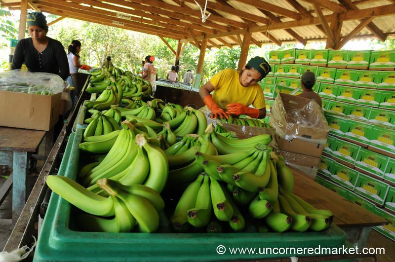 Banana Packing - Chapare, Bolivia