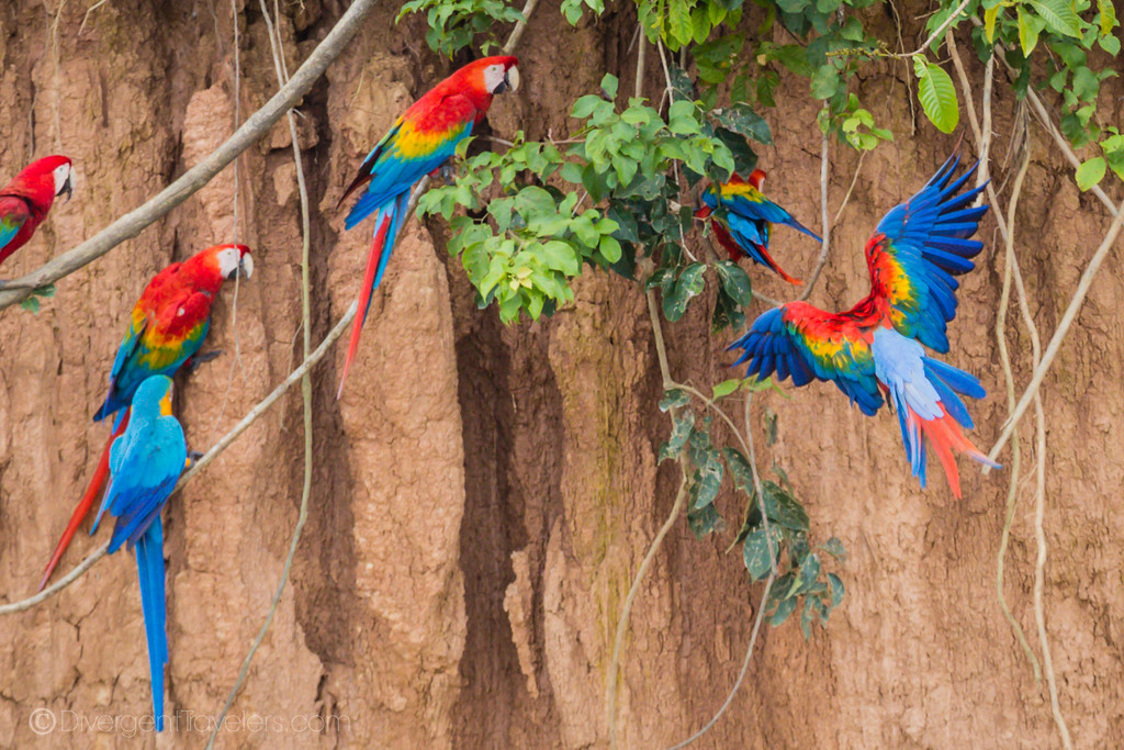 Scarlet Macaws in Peru