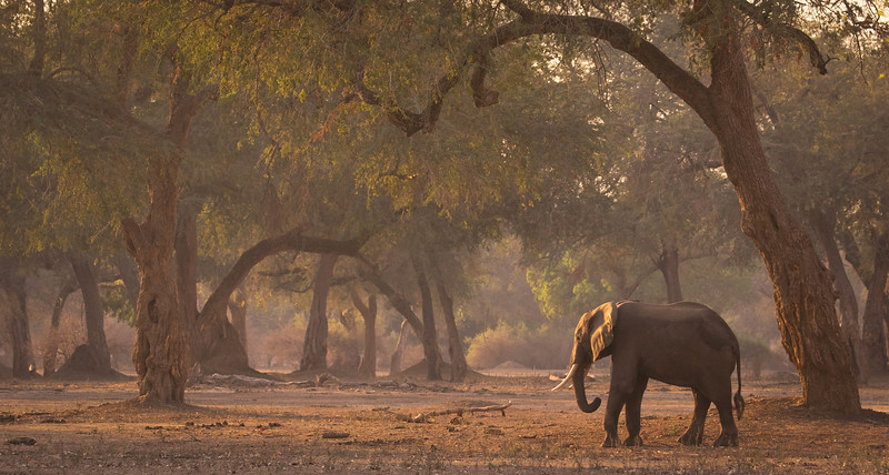 Elephant in riverine forest, Mana Pools National Park