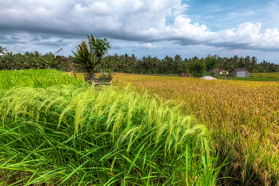 The Path to Sari Organik in BaliTo get to the Sari Organik Cafe in Bali you have to walk about twenty minutes through rice fields that look like this.See this photo at AlikGriffin.com
