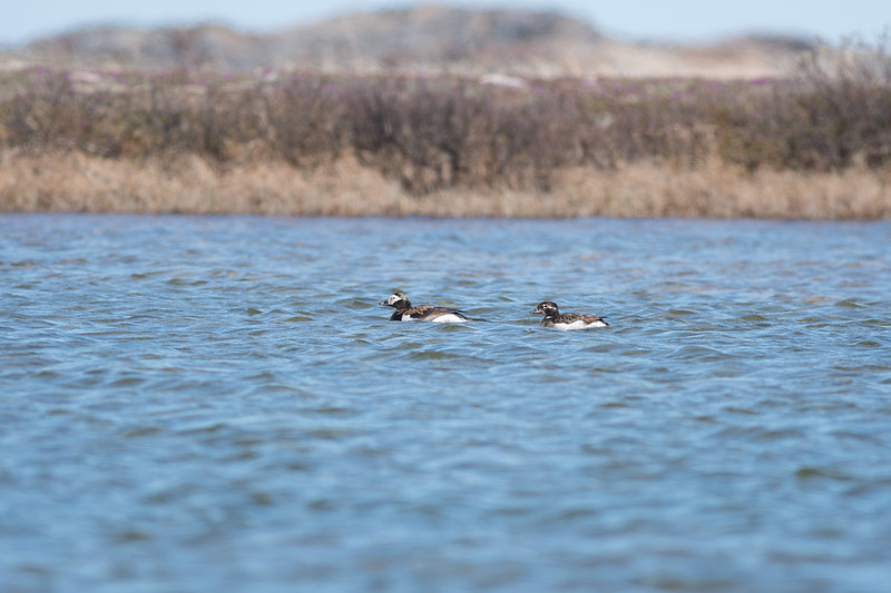 Long-tailed Duck Churchill Manitoba Canada DSC00087.jpg