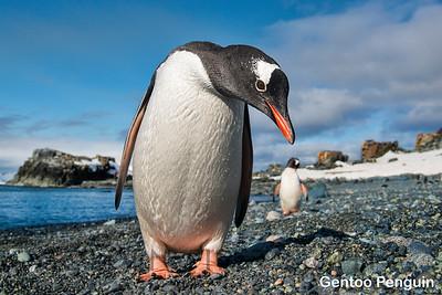Penguins & Albatross