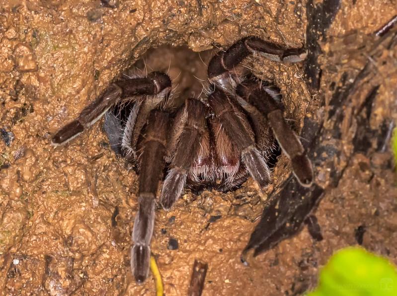 Tarantula sp.
