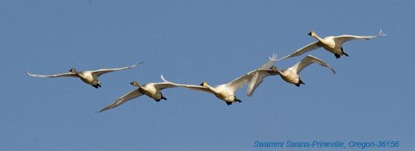 Swans at Prineville 36156.jpg
