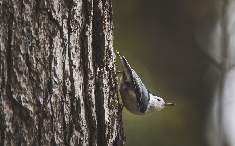 A White Breasted Nuthatch at the Miami Whitewater Forest