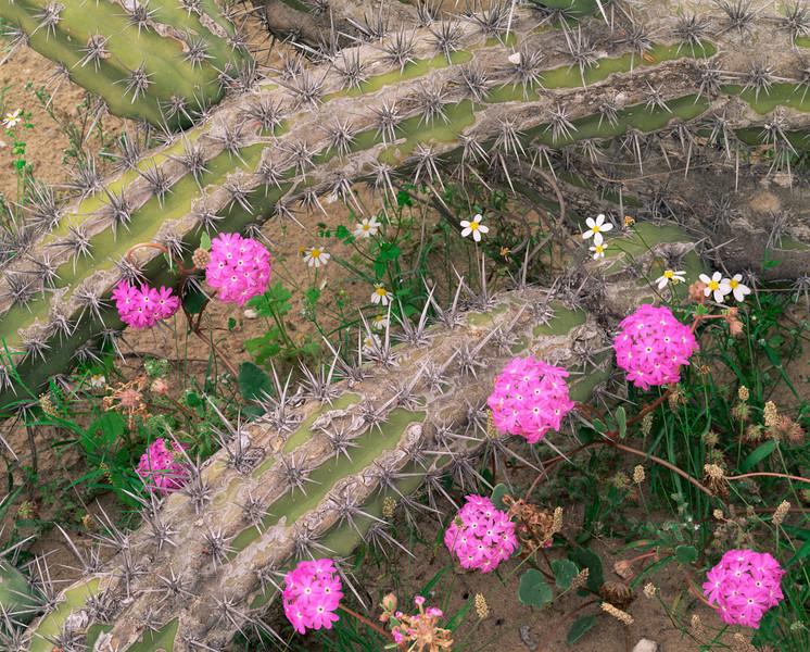 Baja California Sur, Mex., MEX/Vizcaino Desert. Galloping Cactus (Stenocereus gammosus) with Sand Verbena (Abronia villosa) and Rock Daisies (Perityle emoryi).295H7
