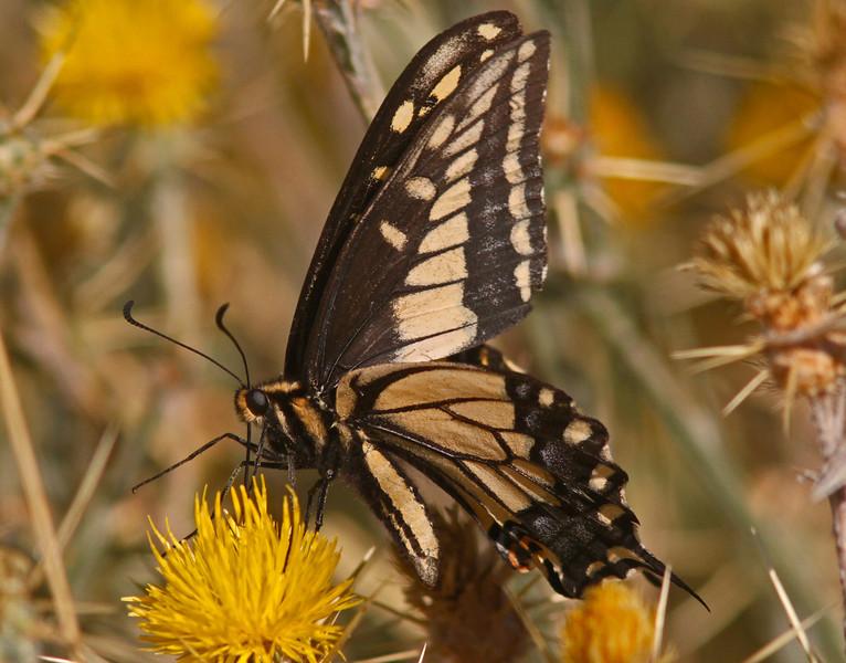 WB~Swallowtailcleareye1600.jpg