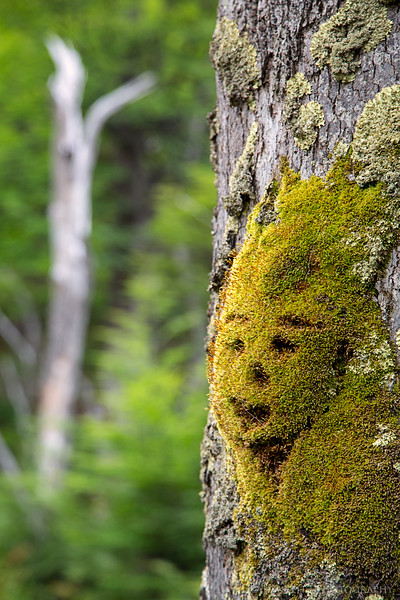 """""""Forest Elf"""" found in the moss among the Lenga trees in Pataonia."""