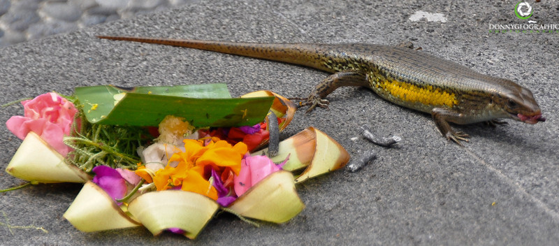 A Lizard at an offering in Ubud Bali