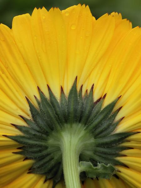 Pot Marigold_006.jpg