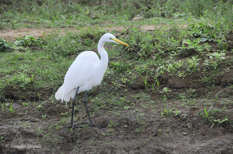 Cano Negro: Egret