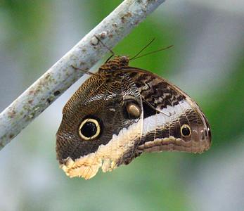 Gold-bordered Owl Butterfly - Caligo uranus