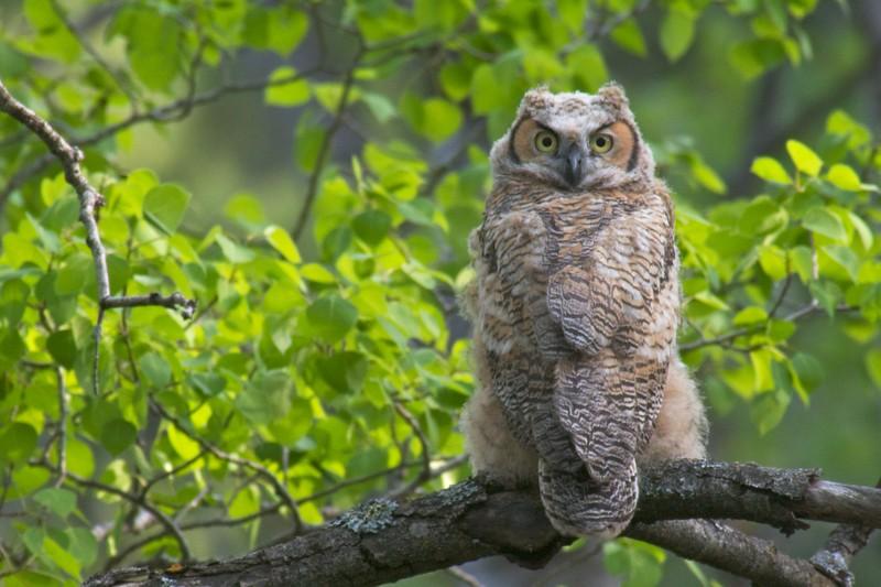 Great Horned Owl chick Skogstjarna Carlton Co MN IMG_0020029.jpg