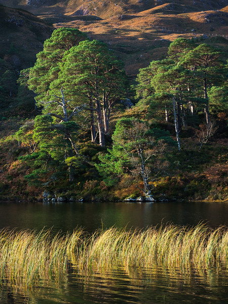 Loch Clair Scots Pines