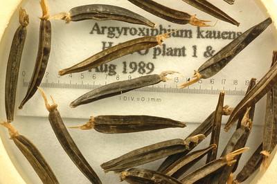 Argyroxiphium kauense