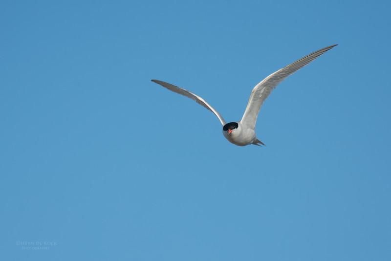 Roseate Tern, Lady Elliot Island, QLD, Dec 2015-21.jpg