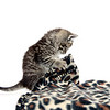 Cute tabby kitten playing with animal print blanket on white background