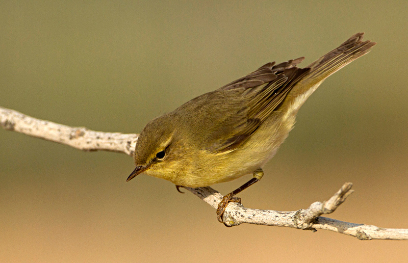 Willow, Warbler, Phylloscopus, trochilus, עלוית, אפורה