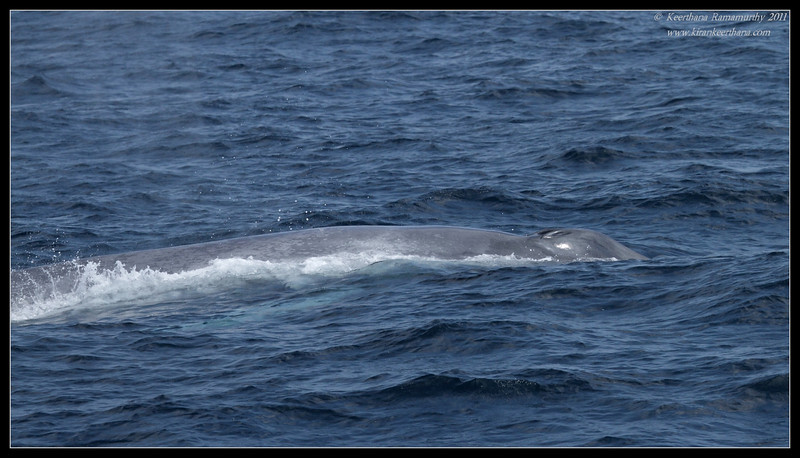 Blue Whale blowholes, Whale watching trip, San Diego County, California, July 2011