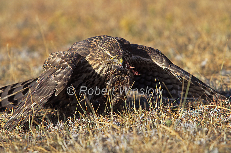 Northern Goshawk; Accipiter genitilis; One-Year Old; Female, Mantled over Food, Contolled Conditions