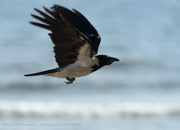 Bonte kraai; Corvus corone cornix; Nebelkrähe; Hooded Crow; Corneille mantelée