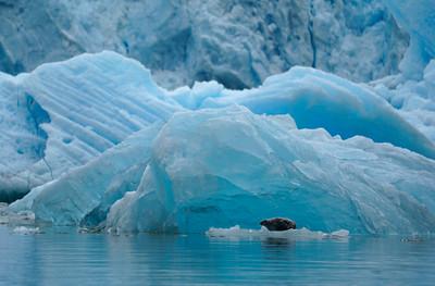 Pinnipeds - Seals & Sea Lions