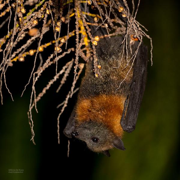 Grey-headed Flying Fox, Nerang, QLD, Nov 2019-3.jpg