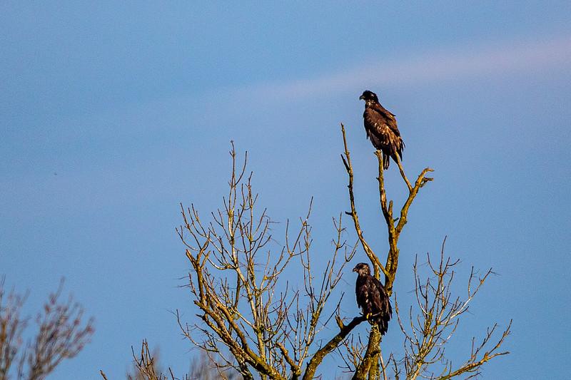 Bald Eagle Tree Dispute -0058.jpg