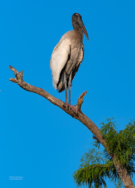 Wood Stork, Circle B Bar, Lakeland, FL, USA, May 2018-1.jpg