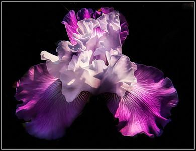 Flowers Fantasy: Iris Dancers