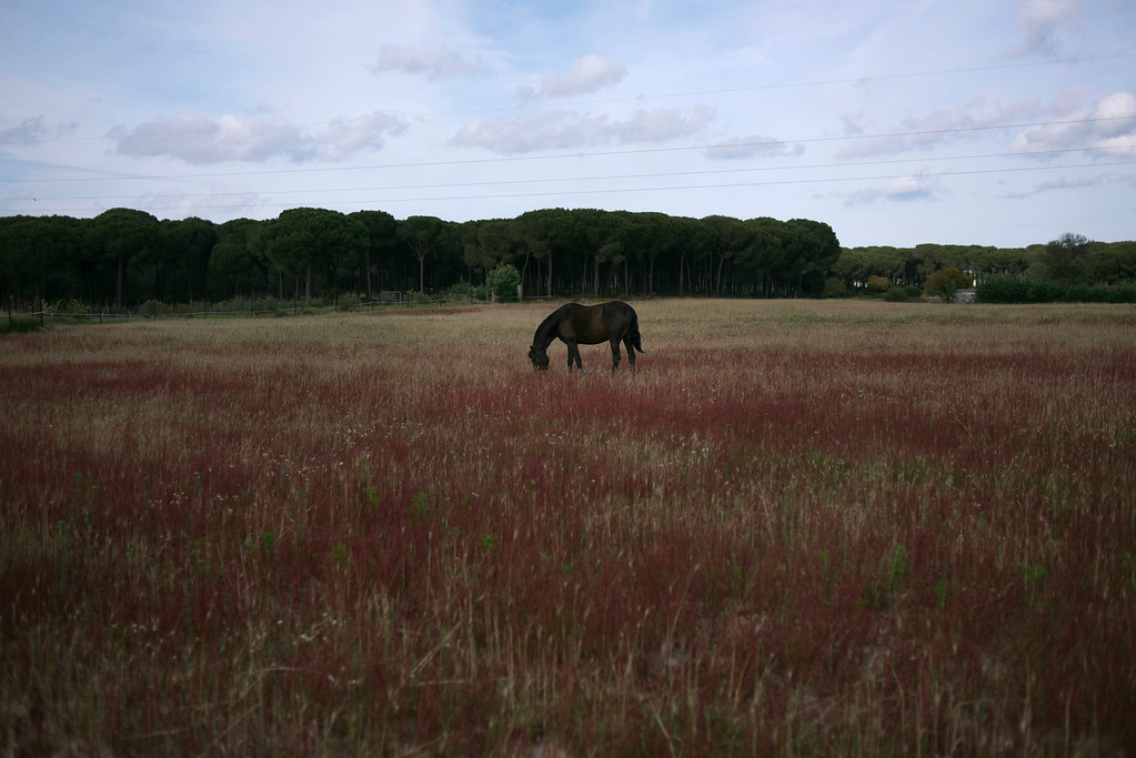 """. In this photo taken on Monday, April. 8, 2013, A \'\'Pura Raza Espanola\'\' or Pure Spanish Breed mare belonging to breeder Francisco Jose Rodriguez grazes at \""""La Yeguada de Cuatro Vientos\"""" ranch in Almonte, in the southern Spanish region of Andalusia. Barring an unlikely reprieve, Rodriguez\' purebreds will be turned into horse meat for export come in the next coming months. They are victims of a wrenching economic downturn that has wiped out fortunes, turned housing developments into ghost towns and left more than a quarter of the population out of work. (AP Photo/Laura Leon)"""