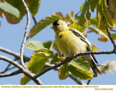 American Goldfinch M73414.jpg
