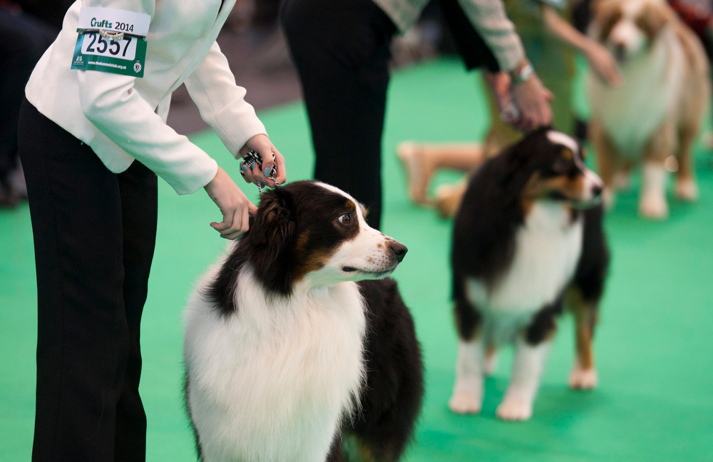 Description of . Border Collie dogs and their owners compete during the Crufts Dog Show 2014 at the National Exhibition Centre in Birmingham, Britain, 06 March 2014. This year, Crufts will be held from 06 to 09 March with over 2,650 dogs from 48 different countries competing with 185 different breeds expected to compete in different categories.  (EPA/WILL OLIVER)