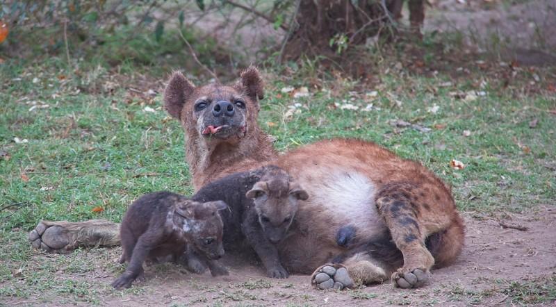 Hyena, Naboisho Conservancy
