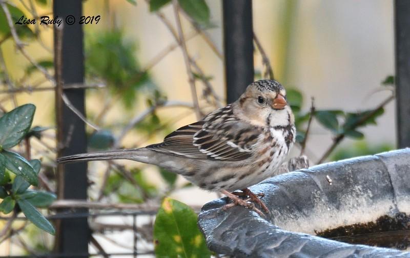 Harris's Sparrow - 1/8/2019 - Backyard Sabre Springs