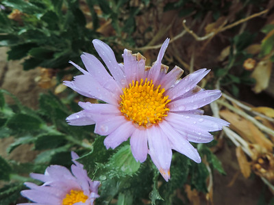 Orcutt's Woody Aster (Xylorhiza orcuttii)