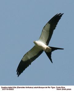 Swallow-tailed Kite A83622.jpg